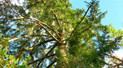 4K Up Point of View of Douglas Fir Tree, Green Tree in Forest and Blue Sky - stock footage