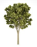white ash tree isolated on white background. 3d illustration - stock illustration