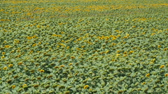 Panoramic view of sunflowers field - stock footage