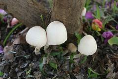 Poisonous mushrooms growing under the trees. Stock Photos