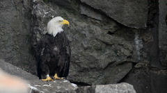 Bald Eagle sits on a rock and watching Stock Footage