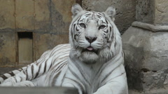 White bengal tiger is looking at camera - stock footage
