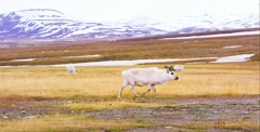 Reindeer walking in the arctic landscape of Svalbard - stock footage