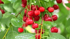 Bunch of ripe wet cherries on cherry tree 4K close up shot Stock Footage