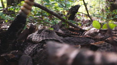 Timber Rattlesnake Stock Footage