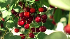 Multiple red cherries with dew on cherry tree 4K close up video, high contrast Stock Footage