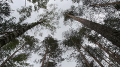 Tall trees moved by strong wind. Stock Footage
