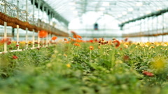 Gerber flowers in large greenhouse - stock footage