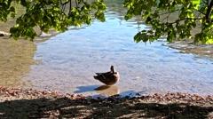 Ducks on the Plitvice Lakes in Croatia Stock Footage