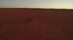 A herd of zebras are making their way through a red stone desert - Namibia Stock Footage