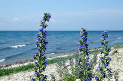 Blue-weed closeup by the coast Stock Photos