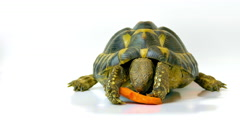 Russian Tortoise Eating Carrot Stock Footage