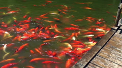 Orange and white fishes in the lake Stock Footage