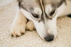 Gray Adult Siberian Husky Dog Sibirsky Husky Sleeping In Bed - stock photo