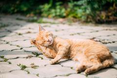 Red Tabby Cat Male Kitten Lick Washes Itself - stock photo