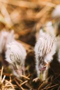 Wild Young Pasqueflower.  Flowers Pulsatilla Patens - stock photo