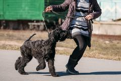 Black Giant Schnauzer Or Riesenschnauzer Dog Runs Outdoor Kuvituskuvat