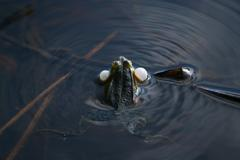 Croaking frog in a swamp Stock Photos