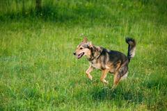 Mixed Breed Medium Size Three Legged Dog Play Outdoor In Summer Stock Photos