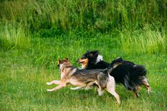 Shetland Sheepdog, Sheltie, Collie Play With Mixed Breed Medium Stock Photos