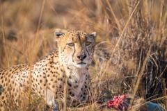 Cheetah on a Reedbuck kill in the Sabi Sabi game reserve. Stock Photos