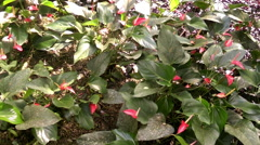 Red calla flowers in the garden Stock Footage