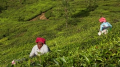 Women picking tea leaves in a tea plantation around Munnar, Kerala, India Stock Footage