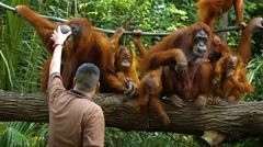 Caretaker caring for a congress of orangutans at a popular zoo in Singapore Stock Footage