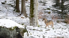 Gray wolf / grey wolf (Canis lupus) walking in the snow through forest in winter - stock footage