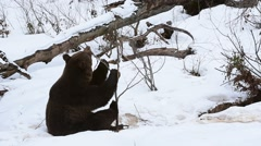 Brown bear playing in the snow by bending twig from sapling in winter Stock Footage