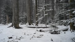 Pine trees in coniferous forest during snowfall in winter Stock Footage
