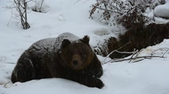 Brown bear lying at entrance of den during snow shower in winter Stock Footage