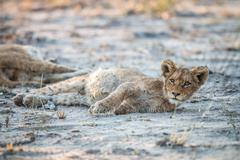 Lion cub laying in the dirt in the Sabi Sabi game reserve. Stock Photos