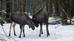 Moose bull playing with calf by headbutting in the snow in winter Stock Footage