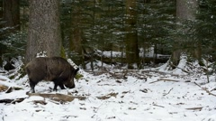 Wild boar foraging in the snow by upturning the soil in forest in winter Stock Footage