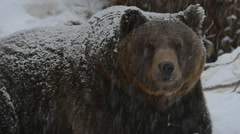 Brown bear (Ursus arctos) close up in the snow during snowfall in winter - stock footage