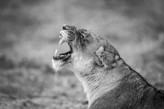 Lioness yawning in black and white in the Kruger National Park Stock Photos