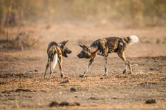 Playing African wild dogs in the Kruger National Park, South Africa. - stock photo