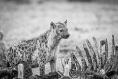Spotted hyena at a carcass with Vultures in black and white. Stock Photos