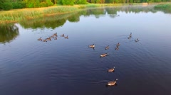 Family of Canadian Geese swimming together on calm misty river Stock Footage