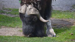 Musk-Ox Eating Grass Front Stock Footage