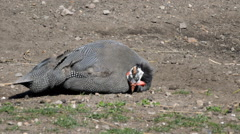 Guinea Fowl Hen - stock footage