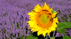 Bees pollinate sunflowers in a lavender field Stock Footage