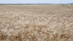 Mellow wheat field harvest ears sway in slow motion on small wind - stock footage