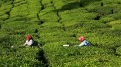 Women picking tea leaves in a tea plantation around Munnar, Kerala, India - stock footage