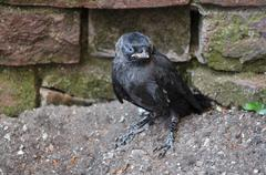 Nestling DAWs sits on the ground Stock Photos