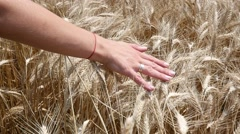 Woman lay hand upon a mellow wheat ears on a field before gathering a harvest Stock Footage