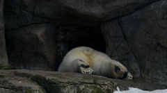 white bear creeping away into his cave - stock footage