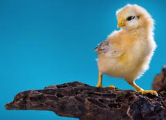 Cute little newborn chicken - stock photo