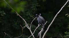 Cormorants on a tree Stock Footage